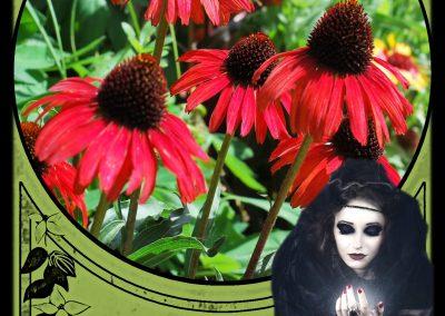 FM Echinacea - Crone Magic Image